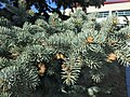 2015-03-27 15 52 20 Closeup of a Blue Spruce at Great Basin College in Elko, Nevada.JPG