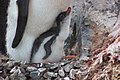 2015-12-30 152430 gentoo feeds his chick IMG 1179.jpg