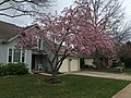 2017-04-03 15 34 14 Ornamental Crabapple with pink flowers along Kinross Circle near Stone Heather Drive in the Chantilly Highlands section of Oak Hill, Fairfax County, Virginia.jpg