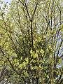 2017-04-10 17 25 23 Sugar Maple flowers along Franklin Farm Road near Thorngate Drive in the Franklin Farm section of Oak Hill, Fairfax County, Virginia.jpg