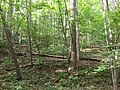 2017-08-10 16 48 46 Forest along the Gerry Connolly Cross County Trail between Twin Branches Road and the Washington and Old Dominion Trail in Reston, Fairfax County, Virginia.jpg