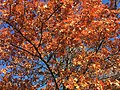2017-11-23 14 01 18 View up into the canopy of a Pin Oak in late autumn in Franklin Farm Park in the Franklin Farm section of Oak Hill, Fairfax County, Virginia.jpg