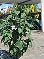 20170823Helianthus annuus2.jpg