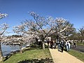 2018-04-08 09 42 24 Yoshino Cherries blooming along Independence Avenue adjacent to the north shore of the Tidal Basin during the 2018 Cherry Blossom Festival in Washington, D.C..jpg