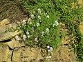 2018-05-13 (128) Iberis sempervirens (evergreen candytuft) at Bichlhäusl in Frankenfels, Austria.jpg