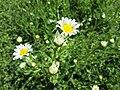 20180508Leucanthemum vulgare2.jpg