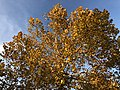 2019-11-13 16 17 37 View up into the crown of an American Sycamore in late autumn along Tranquility Court in the Franklin Farm section of Oak Hill, Fairfax County, Virginia.jpg