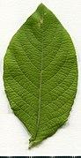 2020. Herbarium. Salix caprea. img-049.jpg