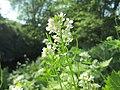20200427Alliaria petiolata1.jpg