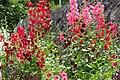 2021-06-06 Althaea rosea タチアオイ(立葵、学名:Althaea rosea、シノニム:Alcea rosea)DSCF3025.jpg