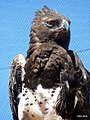 28-2009 1114-martial-eagle-14.jpg
