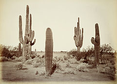 36. Cerens Gigantius Arizona.jpg