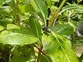 4217Foods Common houseflies Ants of the Philippines 03.jpg