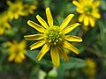 4235 - Thun - Obere Schleuse - Asteraceae.JPG