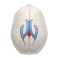 4th ventricle - 05.png