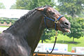 ANdalusian Stallion getting a bath and enjoying the water on a hot day at the Kentucky Horse Park (5966849386).jpg
