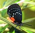 ATALA (Eumaeus atala) (2-4-2016) fairchild tropical gardens, miami-dade co, fl -(7) (24698284899).jpg