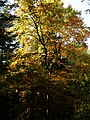 A Beech in Autumn - panoramio.jpg