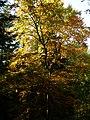 A Beech in Autumn - panoramio.jpg