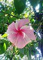 A Pink Hibiscus flower (hibiscus rosa-sinensis) at Srikakulam in Andhra Pradesh.jpg