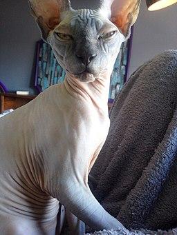 A Sphynx cat