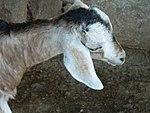A aesthetic goat.JPG