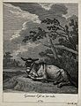 A donkey resting in a paddock. Etching by J. E. Ridinger. Wellcome V0021156ER.jpg