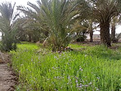 A farm in the town of Al Qurna