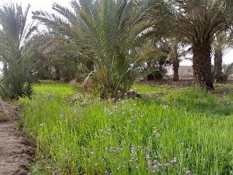 Al-Qurnah - A farm in the town of Al-Qurna.