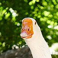 A goose at the National Garden of Athens.jpg