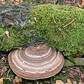 A nice ringshape coloured Fomes fomentarius (Tinder fungus or Ice man fungus, D= Zunderschwamm, F= Amadouvier, NL= Echte tonderzwam) white spores and caused whiterot, at a fallen birch at Hoge Veluwe - panoramio.jpg
