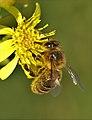 Abella - abeja - bee - apis mellifera (1805417917).jpg