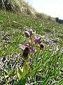 Abellera vermella al prat d'orquídies de la maresma de les Filipines P1100479.jpg