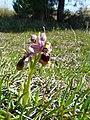 Abellera vermella al prat d'orquídies de la maresma de les Filipines P1100481.jpg