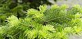 Abies holophylla lt.jpg