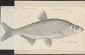 Abramis vimba - 1774-1804 - Print - Iconographia Zoologica - Special Collections University of Amsterdam - UBA01 IZ15000131.tif