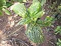 Acalypha wilkesiana hoffmanii-3-yercaud-salem-India.JPG