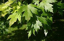 Acer-saccharinum-leaves.JPG