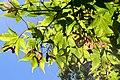 Acer palmatum 'Nuresagi' - R0196.JPG