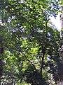 Acer pictum mono 2zz.jpg