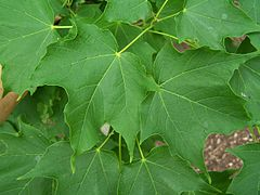 Acer saccharum leaves.jpg