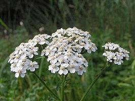 266px-Achillea_millefolium_bloem.jpg