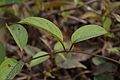 Achyranthes aspera - Agri-Horticultural Society of India - Alipore - Kolkata 2013-01-05 2313.JPG