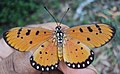 Acraea terpsicore - Tawny coster 02.JPG