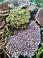 Acropora species6.jpg