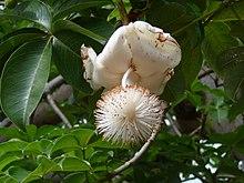 I fiori di Adansonia digitata sono impollinati da diverse specie di pipistrelli