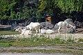 Addax (Zoo Amiens).JPG