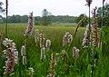 Adderwortel in het dal van Lieverense Diep - panoramio.jpg