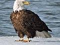 Adult Bald eagle on ice at Eastern Neck National Wildlife Refuge (34369987396).jpg