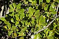 Aegiceras corniculatum excreting salt, Nudgee Creek, Nudgee Beach Bramble Bay Queensland IMGP0935.jpg
